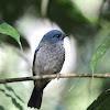 Indigo Flycatcher - Juvenille