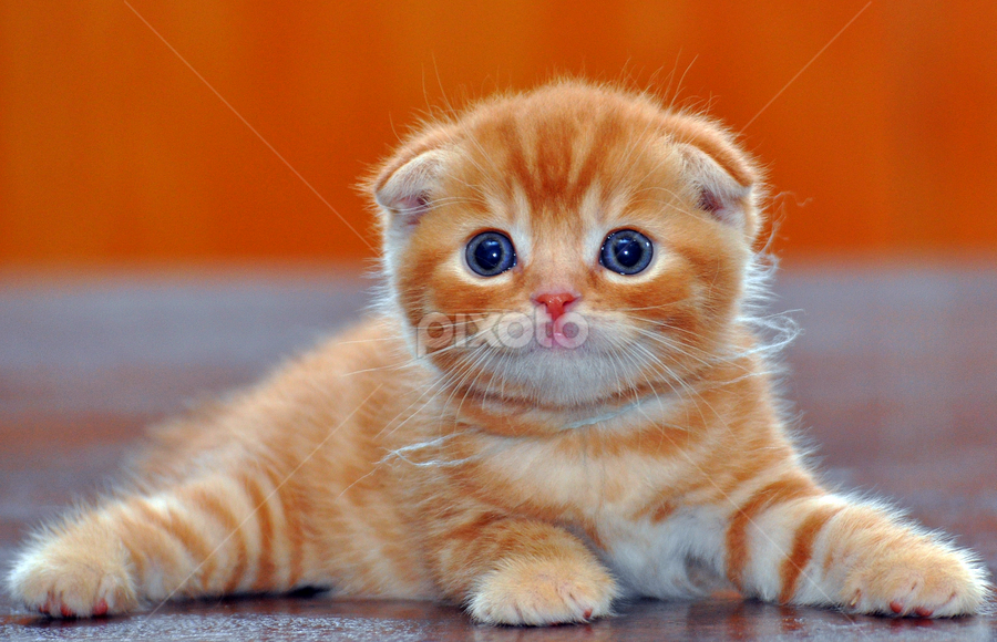 Red Tabby Baby. by Cacang Effendi - Animals - Cats Playing ( cats, kitten, cattery, chandra, animal )