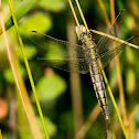 Black tailed skimmer (female)