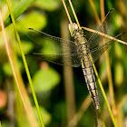 Black tailed skimmer (female)
