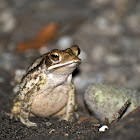 Campbell's Rainforest Toad