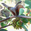 Four-winged gall