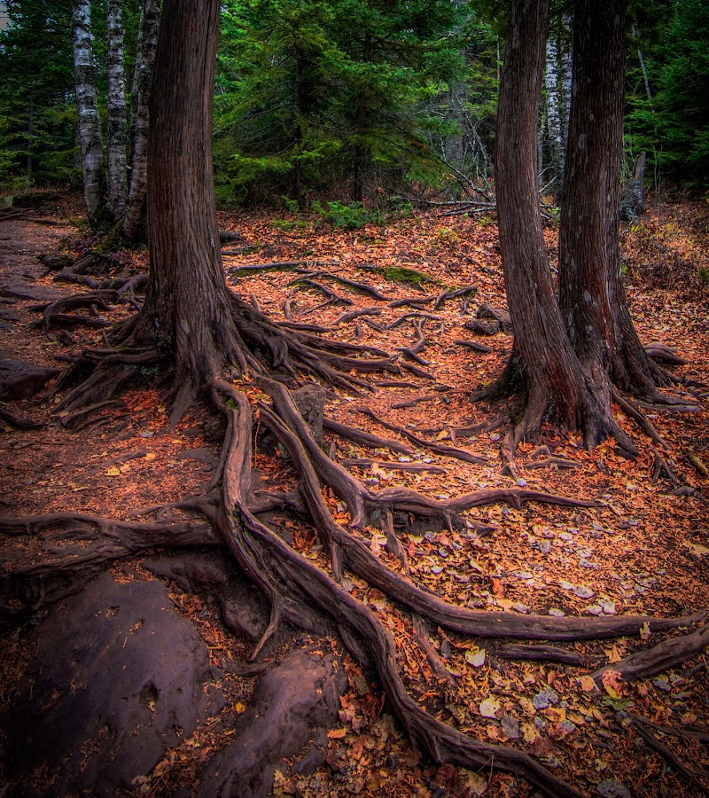 Cedar Roots near the Cascade River by Gary Hanson - Nature Up Close Trees & Bushes ( exposed, fall leaves on ground, roots, cascade, pipeline, cedar,  )