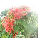 Royal Poinciana or Flame Tree