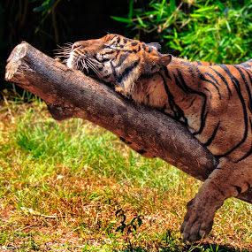 Sleepy Head by Andreas Sugiarto - Animals Lions, Tigers & Big Cats