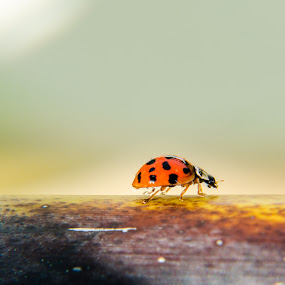 Ladybug Trek by Emily Stillings - Animals Insects & Spiders ( e.j.stillings photography, bamboo, green, trekking, yellow, insect, trek, close, red, color, stalk, emily stillings, ladybug, natural )