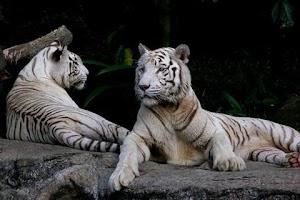 Screenshot of My Little White Tiger LWP
