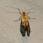 Fairy Moth
