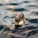 foca gris /grey seal