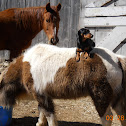 Shetland pony Thoroughbred