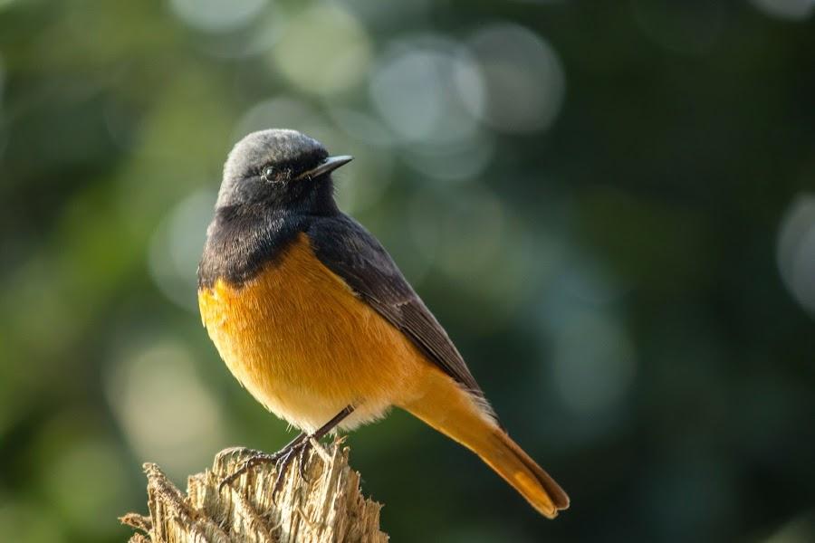 Black Redstart by Gaurav Madhopuri - Novices Only Wildlife