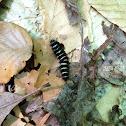 Agreeable tiger moth caterpillar