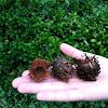 Bur Oak, Mossy-cup Oak