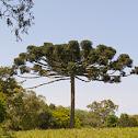 Araucaria paranaense (Parana pine)