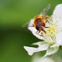 European Hoverfly
