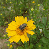 Hirta beetle