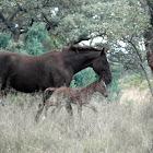 Boerperd X foal