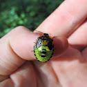 Green Stinkbug nymph