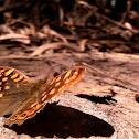 """Butterfly """"Pararge Aegeria"""""""