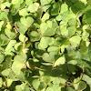 4- leaf clover