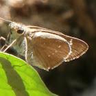 Great Swift, 印度谷弄蝶