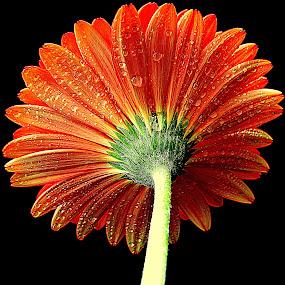 Looking for the Summer by Biljana Nikolic - Flowers Single Flower (  )
