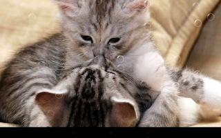 Screenshot of Funny Cat Live Wallpaper