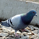 Ferla Pigeon