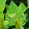 Katydid; Saltamontes Longicornio