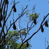 Flying foxes/Fruit Bats