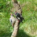 Greater -spotted Woodpecker