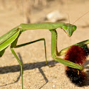 Chinese Mantis with Prey
