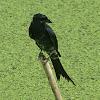 Black Drongo(ফিঙে )