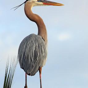 Great Blue Heron by Sandra Blair - Animals Birds ( great blue heron, bird, wading bird, wetlands, heron, wader,  )