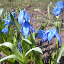 Wood/Siberian Squill