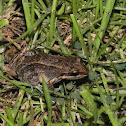 White-lipped frogle- Sapito de labio blanco