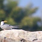 Indian River Tern