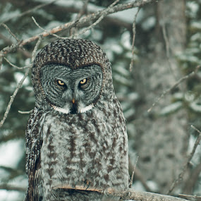 You Lookin at me........ by Sylvie Berube Tenniscoe - Animals Birds ( animals, nature, trees, forest, owls,  )