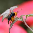 Flea beetle 大琉璃金花蟲