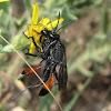 Cutworm-hunting wasps