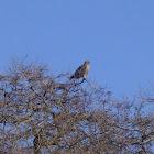 Red-tailed Hawk (Intermediate morph)