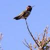 Annas Hummingbird (male)