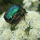Green Rose Chafers ♂ ♀  (copulation) and Jewel Beetle ♂