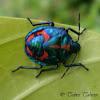 Harlequin bug?