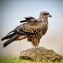 Stunning Eagles icon