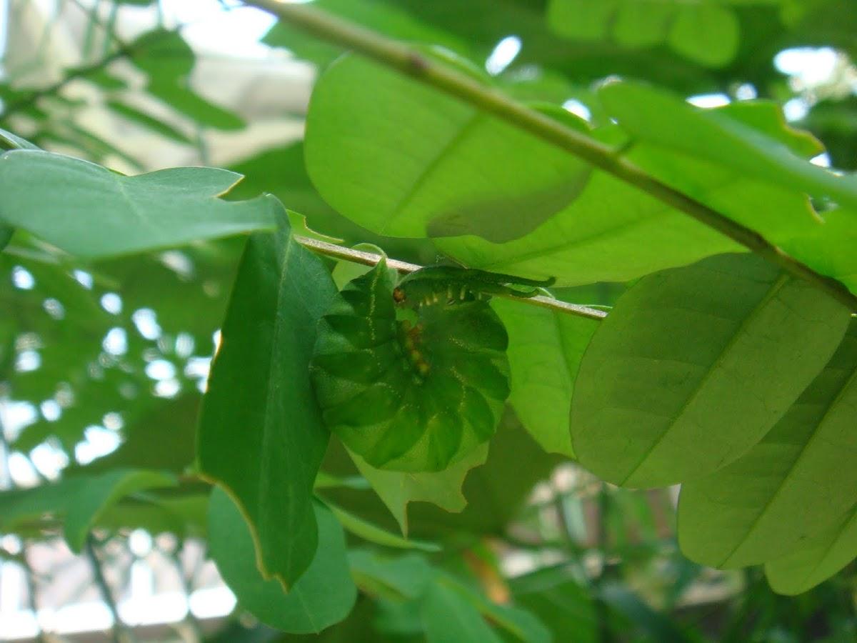 Plain Nawab Butterfly