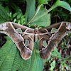 Forbes Silkmoth