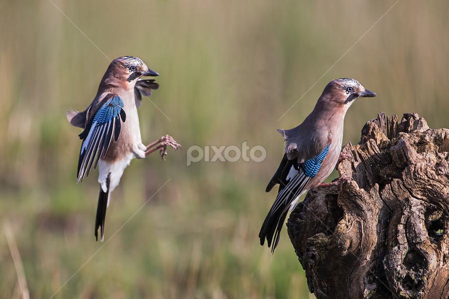 Double landing by Alberto Carati - Animals Birds