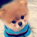 Boo the cutest Dog HD Photos icon