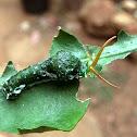 Common Mormon Caterpillar